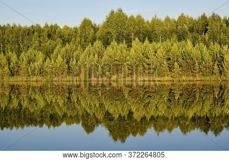 Rows Of Pines And Birches Standing On The Lake Shore Are Symmetrically Reflected On The Surface Of T
