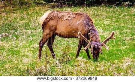 Wapiti With A Nice Antler Grazing In Jasper National Park In Alberta, Canada