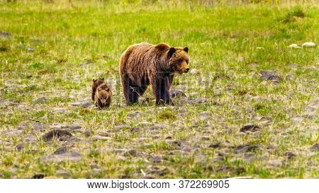 Mother Grizzly Bear With Two Young Cubs Wandering Through Jasper National Park In Alberta, Canada