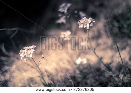 Selective Focus Of Wild Flower Cuckoo On The Green Meadow, Cardamine Pratensis Is A Flowering Plant