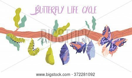 Life Cycle And Metamorphosis Of A Butterfly From Caterpillar To Insect In Sequence On A Branch, Colo