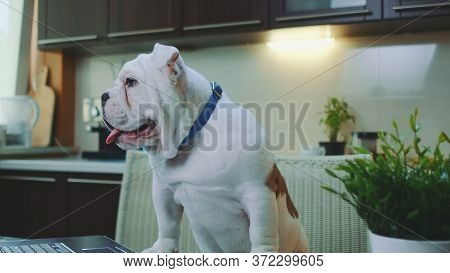 Close-up Of A White English Bulldog In The Kitchen At Home. In Front There Is A Laptop.