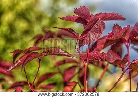 Girlish Grapes Leaves Red Autumn Close Up