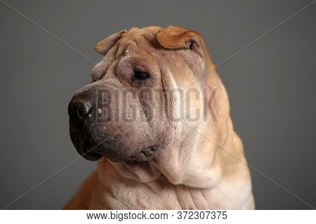 Chinese Shar Pei Dog On Gray Background.