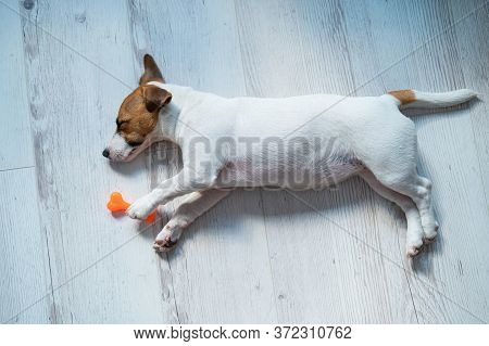 Top View Of A Puppy Of Jack Russell Terrier Sleeping On A Wooden Gray Floor With A Toy Bone. A Small