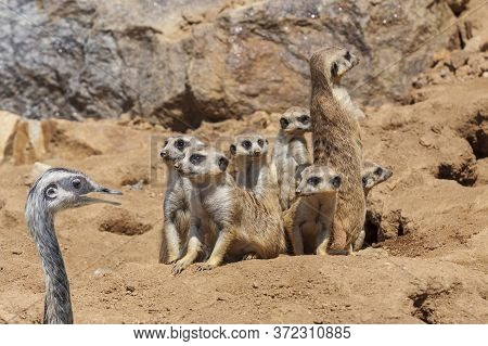 Meerkat - Suricata Suricatta - In The Group Together And In The Corner Is A Small Ostrich With An Op