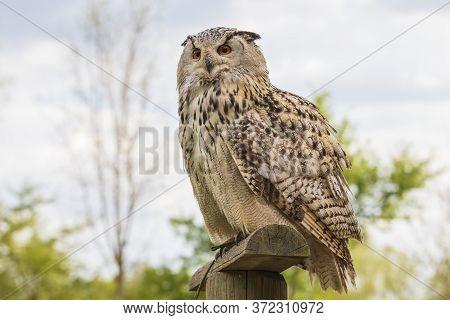 Great Siberian Owl - Bubo Bubo Sibiricus - Falconry On A Green Meadow In Sunny Weather.
