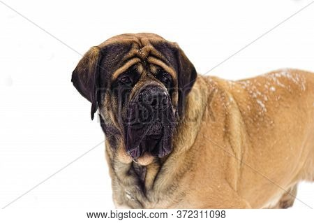 Winter Walk In The Snow With A Dog Breed Dogue De Bordeaux.