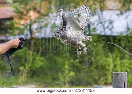 The Barn Owl - Bubo Virginianus - Falconry-guided Flies And Lands On The Hand Of A Falconer.