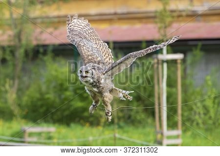 The Barn Owl - Bubo Virginianus - Falconry Flies In The Air On A Green Meadow.