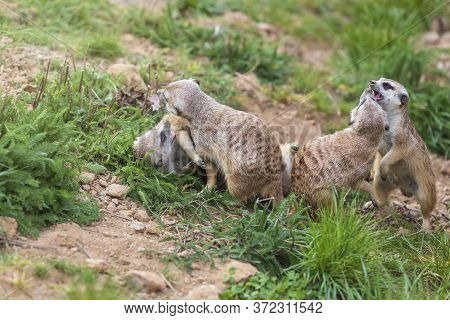 Meerkat - Suricata Suricatta In A Group In Its Natural Habitat Plays In A Group.