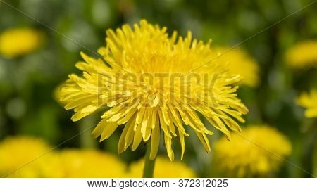 Yellow Dandelion Flower Against A Yellow-green Bokeh. Green Dandelion Leaves. Dandelions Bloom In Sp