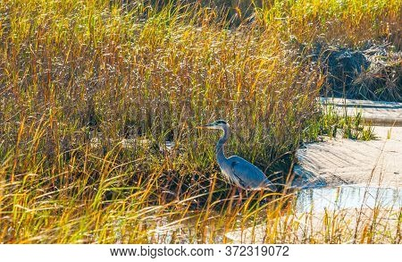 Great Blue Heron in breeding plumage stands at the water\\\'s edge at Hatches Harbor near Provincetown Cape Cod USA.