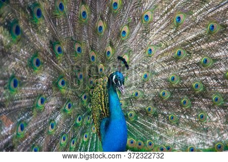 Peacock Peafowl With Open Tail, Beautiful Representative