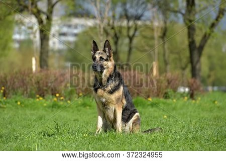 The Oldest German Shepherd Lies On The Grass In Summer