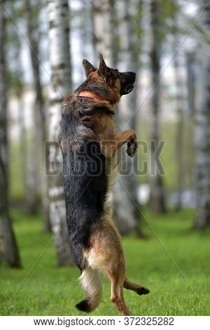 German Shepherd Jumps High In The Park