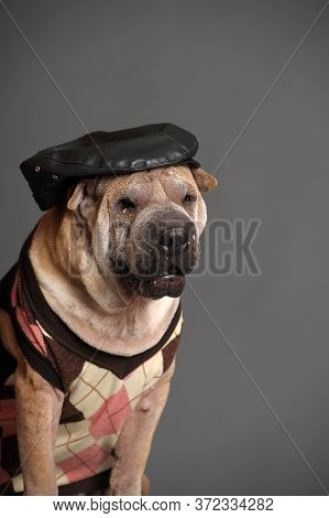 Shar Pei Dog On Grey In Studio