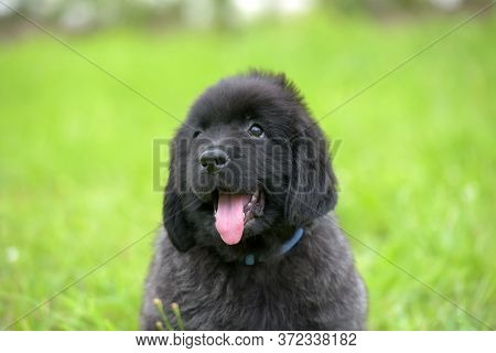Cute Black Two Month Old Newfoundland Puppy On The Grass