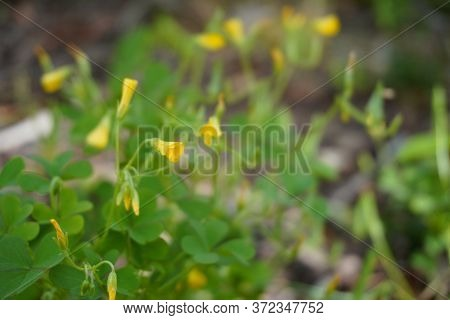 Close-up Of Small Yellow Flowers  In A Yard With A Soft Focus; Landscape View