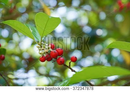 Holly Berries And White Flowers On The Branch Of A Holly Tree; Bokeh Background; Close-up