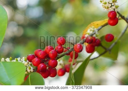 Holly Berries And White Flowers On The Branch Of A Tree With Leaves; Close-up; Landscape View