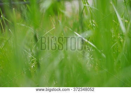 Blurry Blades Of Green Grass In Summer; Background; Abstract; Landscape View