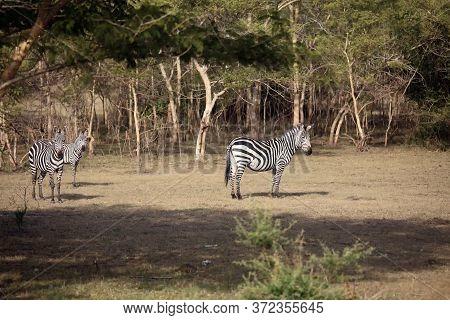 The Plains Zebra (equus Quagga, Formerly Equus Burchellii), Also  The Common Zebra Or Burchell's Zeb