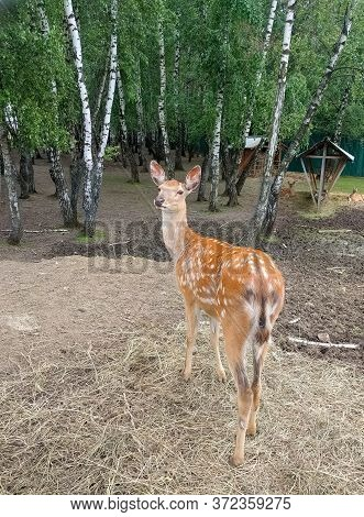 A Female Sika Deer (cervus Nipon) With A Characteristic Color In A Closed Reserve Turned Around And