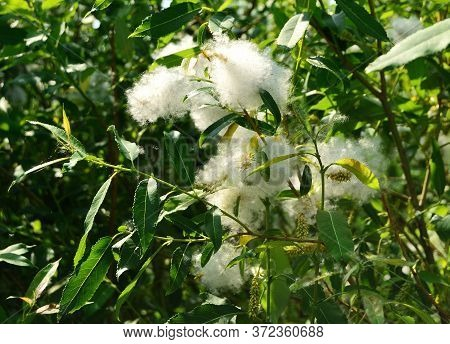 Spring Blooming Of Willow Trees. Willow Buds In White Allergenic Fluff Closeup.