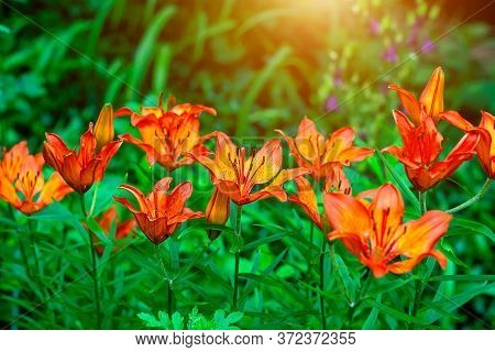 Bright Orange Lilly Flower On Green Leaves In The Garden In Spring And Summer.