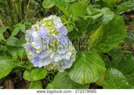 Close-up Of Blooming Blue Hydrangea Flower Against Dark Green Leaves Background. Hydrangea Macrophyl