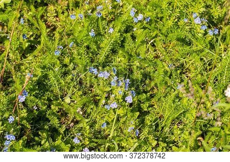 Close-up Of A Meadow In Springtime With Blue Flowering Germander Speedwells