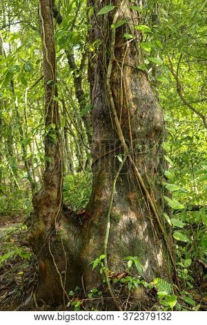 Big Tree In Asian Tropical Rainforest. Green Tree Ferns In Tropical Jungle. Long Creepers Cling To A