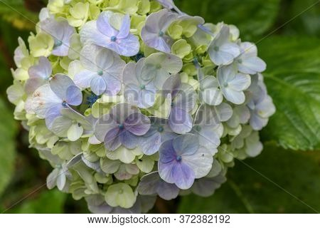 Macro Photography Of Blooming Yellow, Pale Blue Hydrangea Flower Petals. Nature Abstract Background.