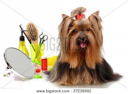 poster of Beautiful yorkshire terrier with grooming items isolated on white