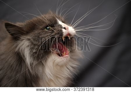 The Cat Hisses, Gapes, Grins. Muzzle Cat Large. Portrait. You Can See The Fangs, The Teeth. Cat Larg