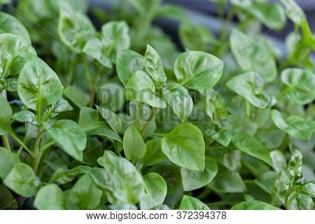 Fresh Green Vegetable Brazilian Spinach Also Known As Sissoo Spinach Or Samba Lettuce Plant Growing