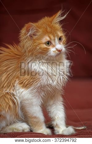 Cool Red And White Longhair Kitten Close Up