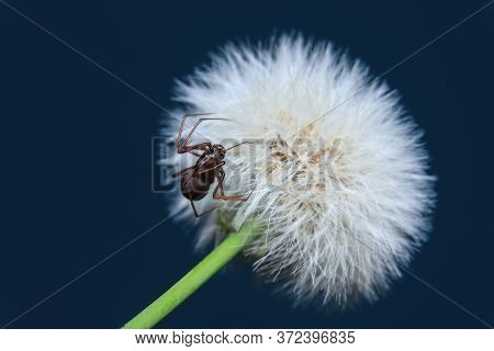 Brown Spitting Spider (scytodes Fusca) Siting On A Dandelion
