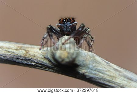Jumping Spider (hasarius Adansoni) Eye Closeup When He Sit On A Branch