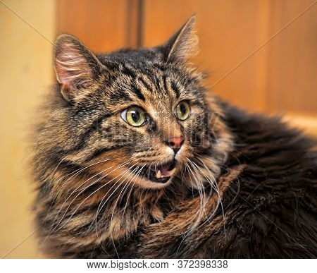 Funny Fluffy Cat With Open Mouth Meows