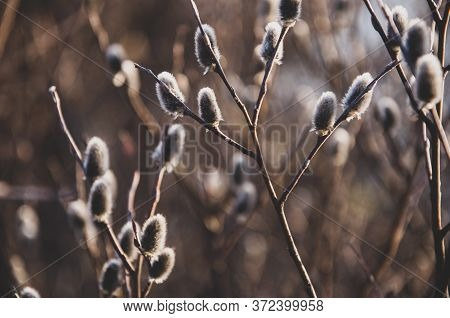 Branch Of Pussy-willow Tree With Tiny Fluffy Blossom Catkin In Early Spring In The Back Light Of A S