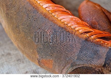 Close Up Of The Scaly Skin Of A Tropical Reptile Red Iguana. Best And Amazing Background For Your Pr