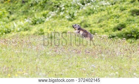 A Marmot, Marmota Marmota
