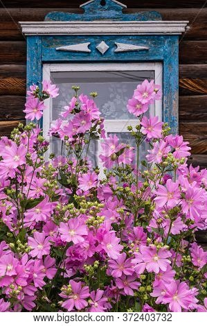 Window With Old Wood Shabby Blue Platbands In The Village House. Mallow Bush With Delicate Pink Flow