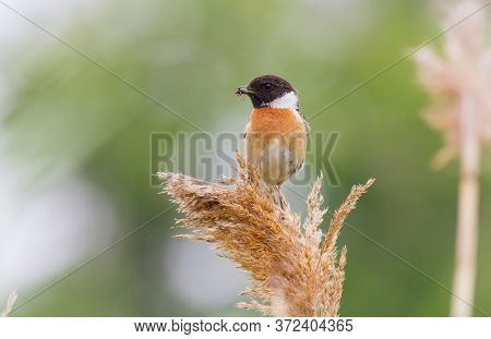 European Stonechat, Saxicola Rubicola. On A Cloudy Morning, A Male Bird Sits On A Reed And Holds Pre