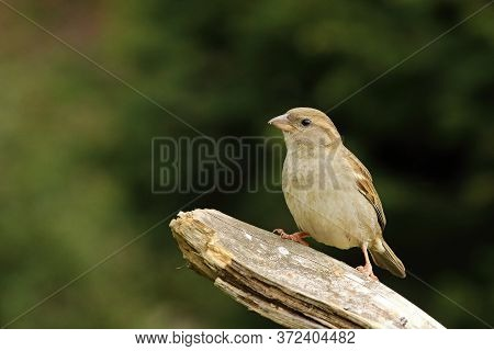 A House Sparrow (passer Domesticus) Feline Sitting On The Branche. A House Sparrow With Green Backgr
