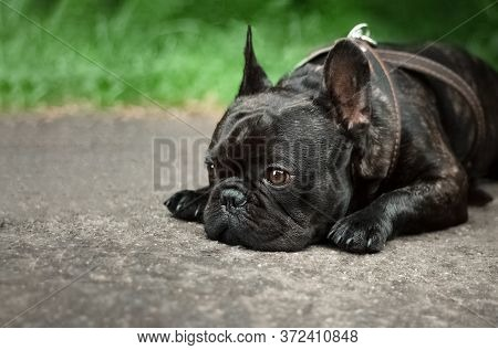 A Domestic Dog Lies On The Ground With A Sad Face. A Black French Bulldog Is Sad Because Hes Been Sc