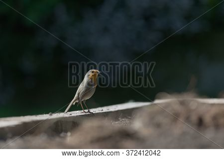 Dark Shaded Background Highlights The Sunlit Side Profile Of A Red Breast Robin Standing On A Wooden