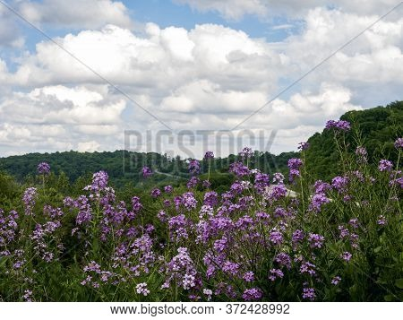 Field Of Purple Dame's Rocket Wildflowers With Rolling Hills Behind And A White Cloud Filled Blue Sk